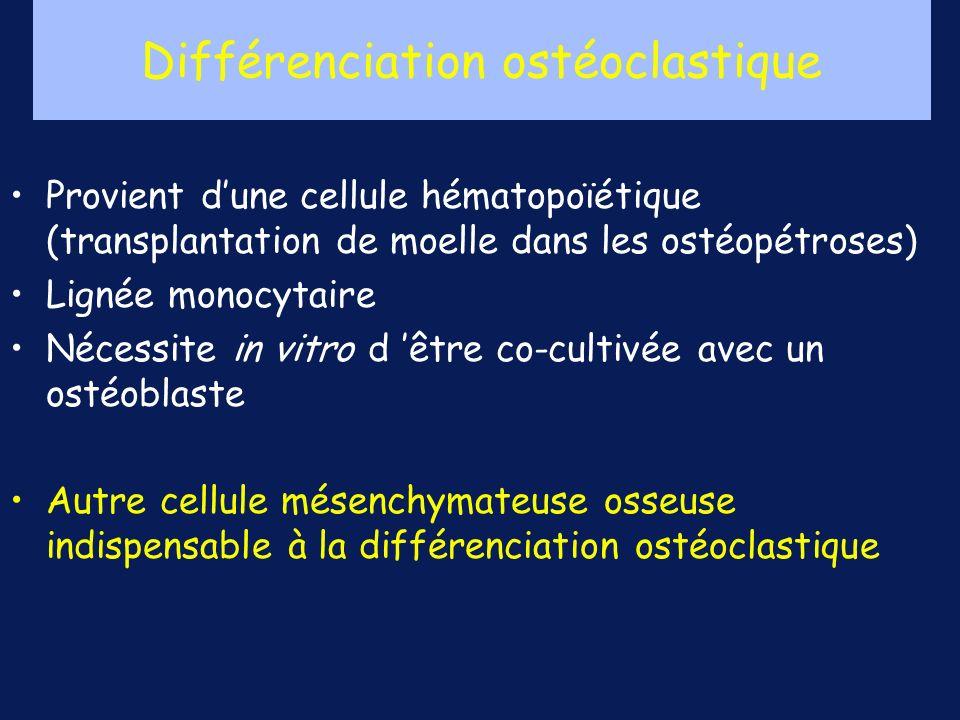 Provient dune cellule hématopoïétique (transplantation de moelle dans les ostéopétroses) Lignée monocytaire Nécessite in vitro d être co-cultivée avec un ostéoblaste Autre cellule mésenchymateuse osseuse indispensable à la différenciation ostéoclastique Différenciation ostéoclastique