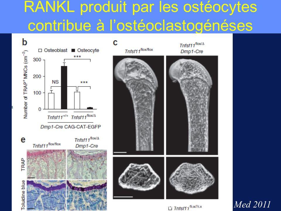RANKL produit par les ostéocytes contribue à lostéoclastogénéses Nakashima et al Nature Med 2011