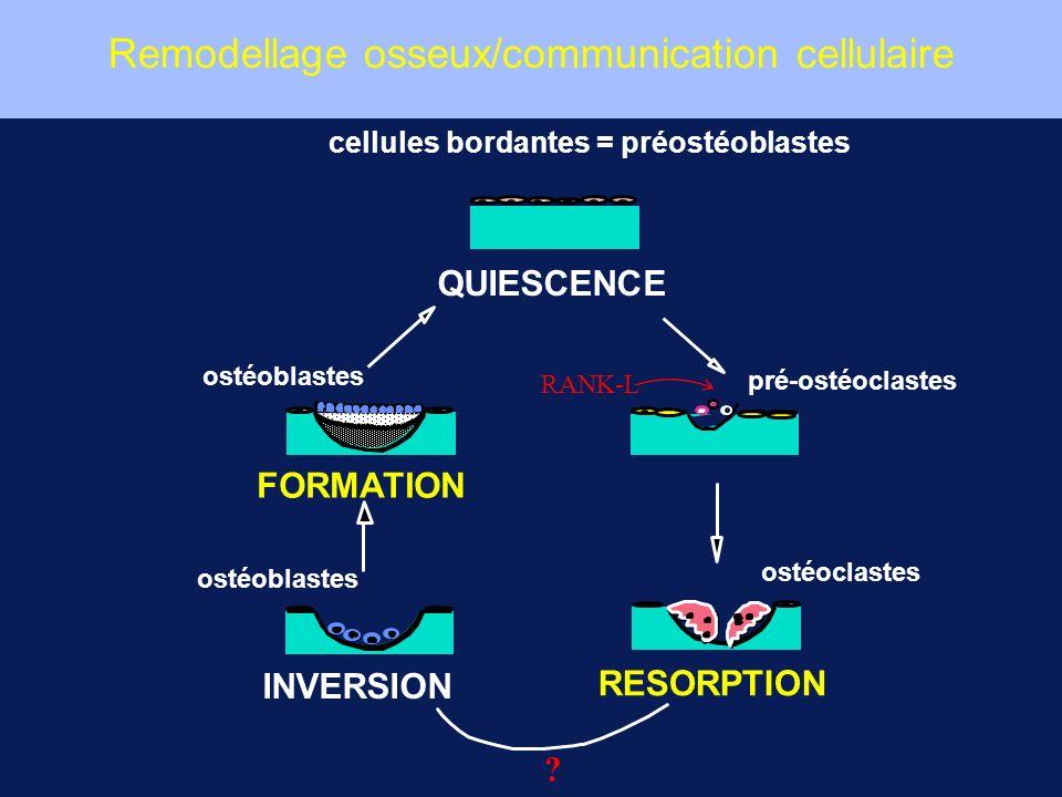 cellules bordantes = préostéoblastes pré-ostéoclastes ostéoclastes ostéoblastes RESORPTION INVERSION FORMATION QUIESCENCE RANK-L ? Remodellage osseux/