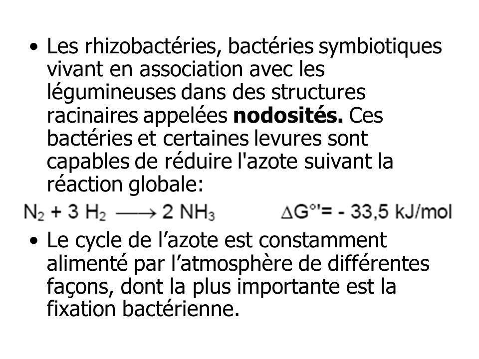 Les rhizobactéries, bactéries symbiotiques vivant en association avec les légumineuses dans des structures racinaires appelées nodosités. Ces bactérie