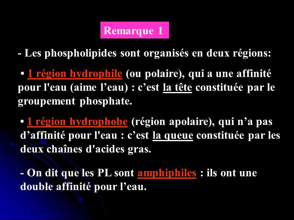 Remarque 1 - Les phospholipides sont organisés en deux régions: 1 région hydrophile (ou polaire), qui a une affinité pour l'eau (aime leau) : cest la
