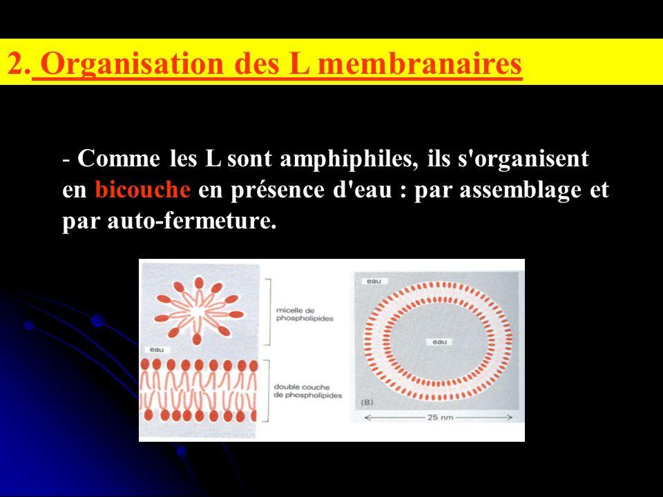2. Organisation des L membranaires - Comme les L sont amphiphiles, ils s'organisent en bicouche en présence d'eau : par assemblage et par auto-fermetu