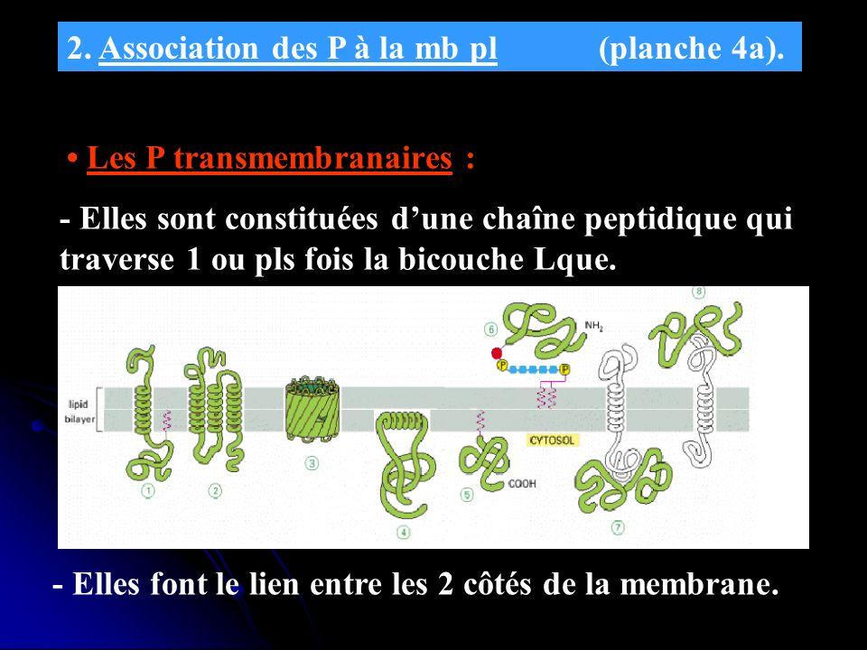 2. Association des P à la mb pl (planche 4a). Les P transmembranaires : - Elles sont constituées dune chaîne peptidique qui traverse 1 ou pls fois la