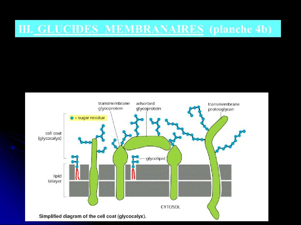 III. GLUCIDES MEMBRANAIRES (planche 4b) - - Toutes les cellules eucaryotes ont des glucides au niveau de leur surface (sous forme doligosaccharides ou