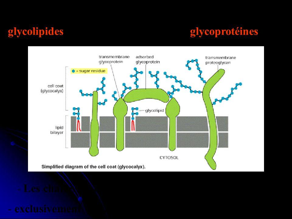 - - Ces sucres sont liés : aux L pour former des glycolipides et aux P pour former des glycoprotéines. - Les chaînes glucidiques des GL et GP sont - e