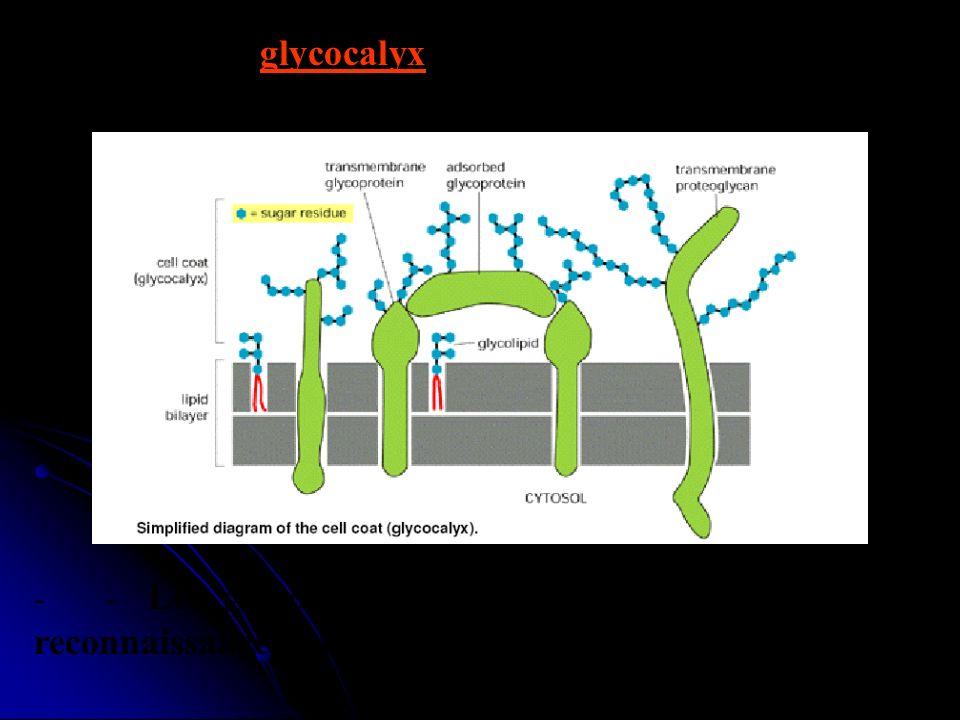 - - On appelle glycocalyx la zone périphérique riche en G située sur la face externe. - - Le glycocalyx pourrait jouer un rôle de reconnaissance entre