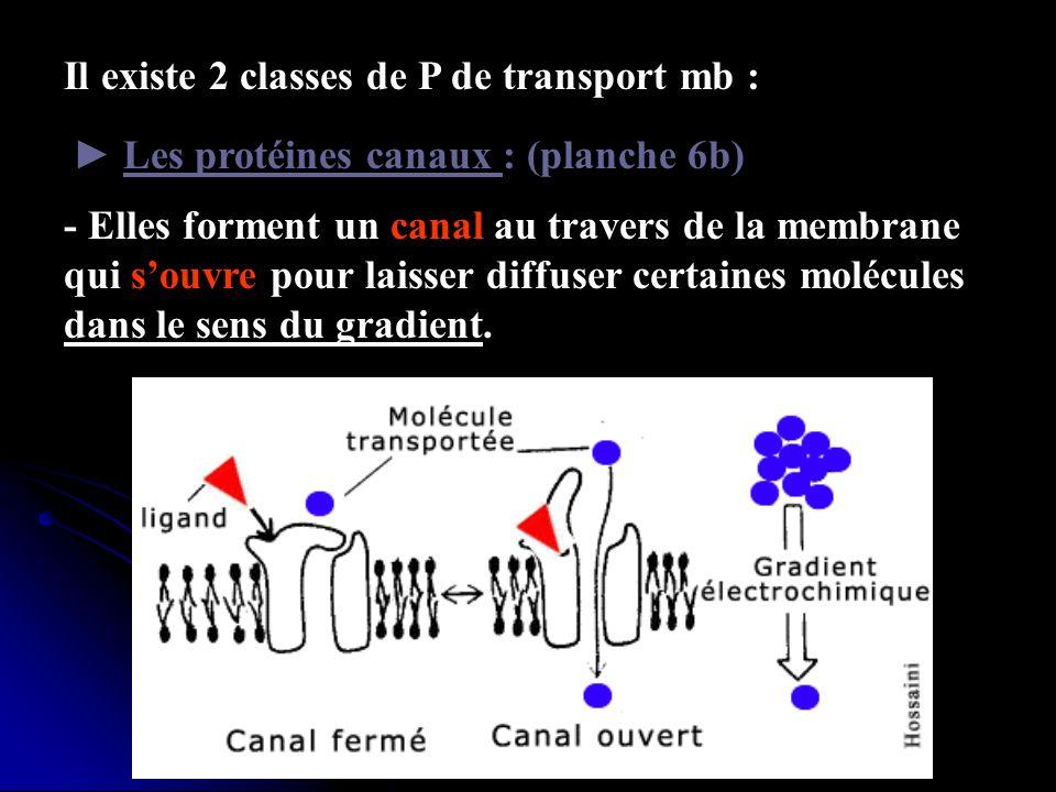 Il existe 2 classes de P de transport mb : Les protéines canaux : (planche 6b) - Elles forment un canal au travers de la membrane qui souvre pour lais