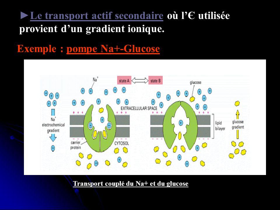 Le transport actif secondaire où lЄ utilisée provient dun gradient ionique. Exemple : pompe Na+-Glucose Transport couplé du Na+ et du glucose