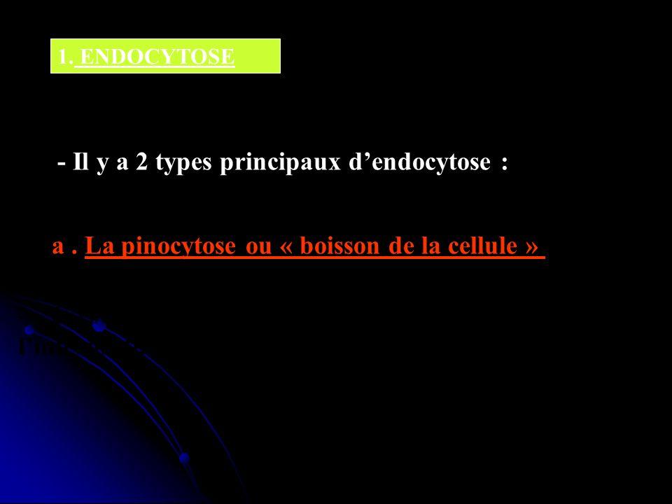 1. ENDOCYTOSE - Il y a 2 types principaux dendocytose : a. La pinocytose ou « boisson de la cellule » - Cest lingestion de fluides et de solutés par l