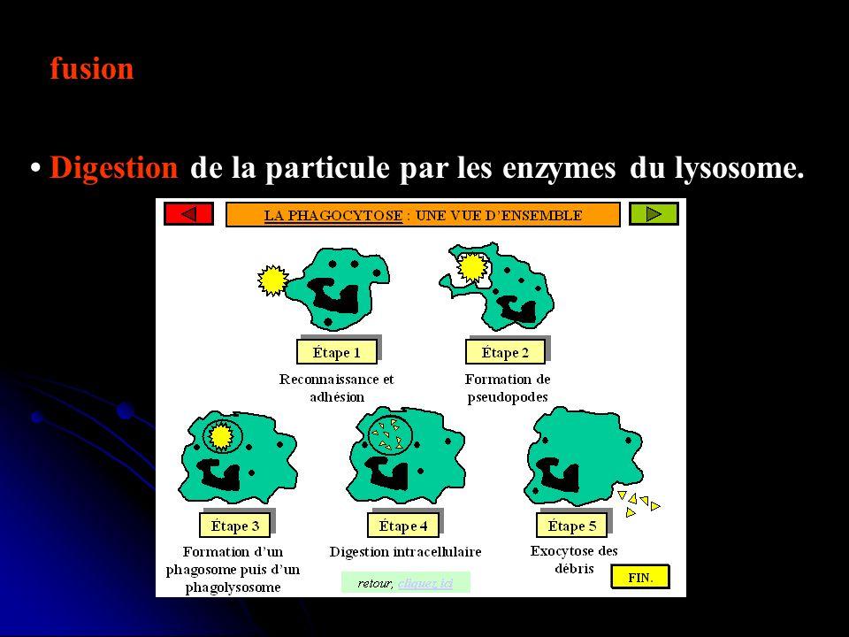 fusion entre le phagosome et des lysosomes pour former un phagolysosome. Digestion de la particule par les enzymes du lysosome.