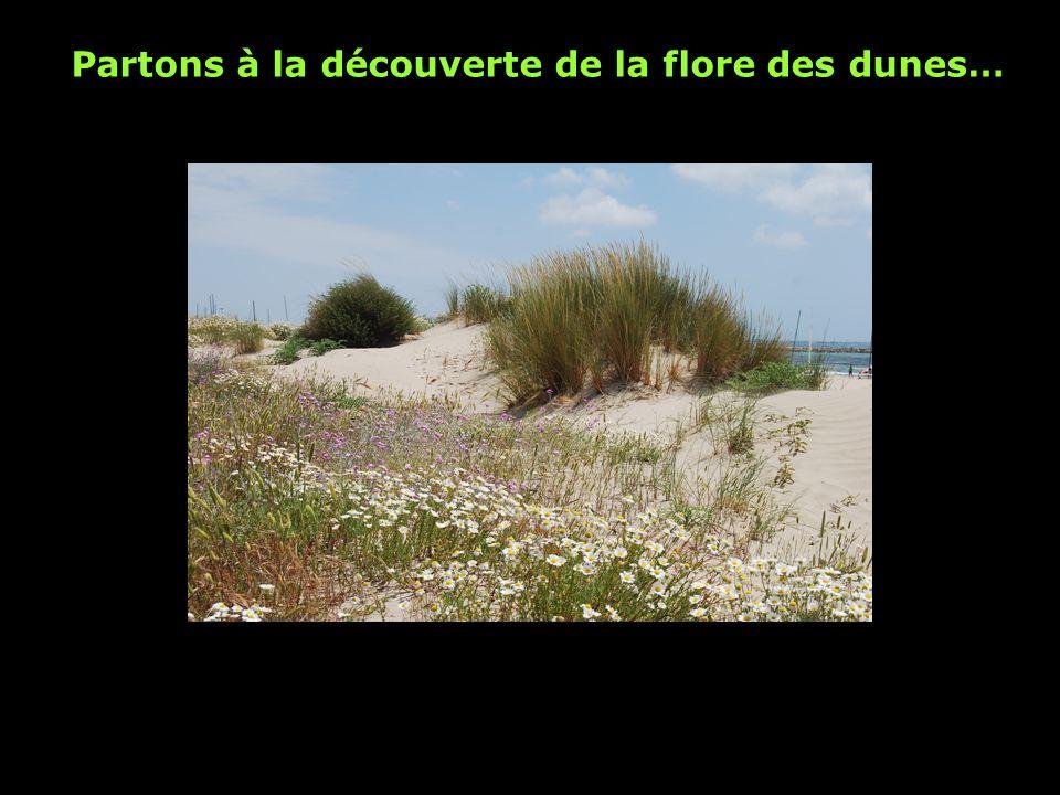 Le chiendent des sables Taille de 25 à 50 cm Fleur (graine): épis Le chiendent vit sur la dune embryonnaire Cette plante résiste au sel et à la sécheresse.