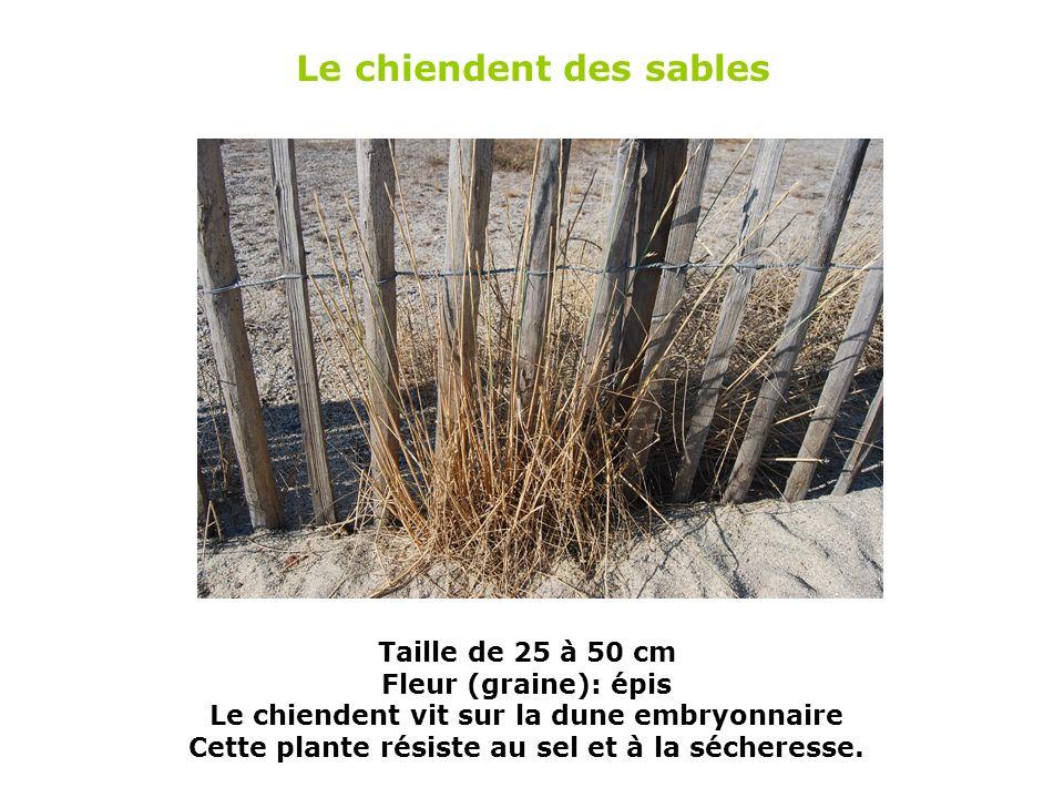 b Taille : 40 à 100 cm Il sagit dune plante vivace (qui vit toute lannée) sur la dune mobile.