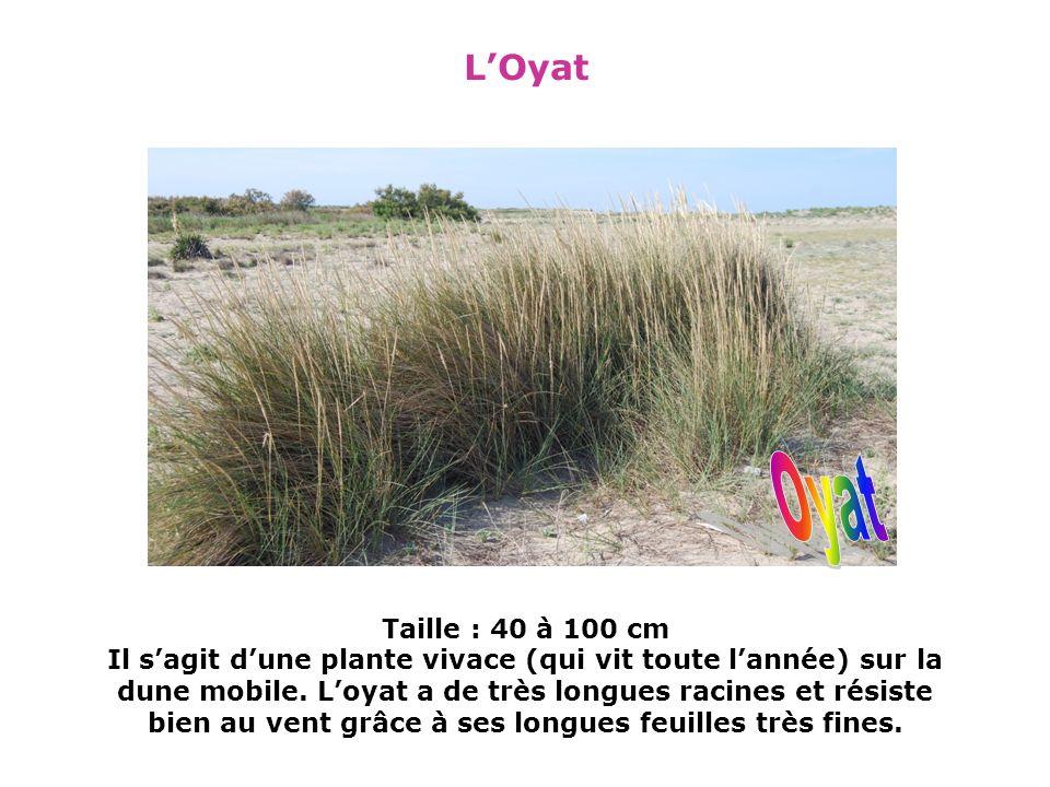 les différentes plantes Revégétalisation de la dune Nous avons planté du chiendent afin de recoloniser le milieu et préserver les dunes.