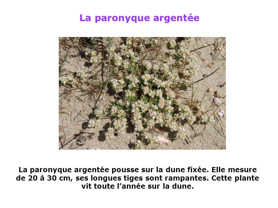 Le scolyme dEspagne Taille : 30 à 80 cm Il sagit dune plante biannuelle (qui vit 2 années).