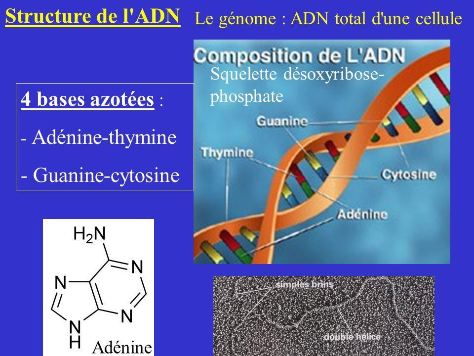 Structure de l'ADN Le génome : ADN total d'une cellule 4 bases azotées : - Adénine-thymine - Guanine-cytosine Adénine Squelette désoxyribose- phosphat