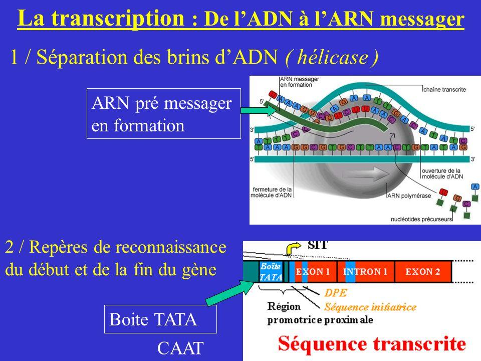 La transcription : De lADN à lARN messager 1 / Séparation des brins dADN ( hélicase ) 2 / Repères de reconnaissance du début et de la fin du gène ARN