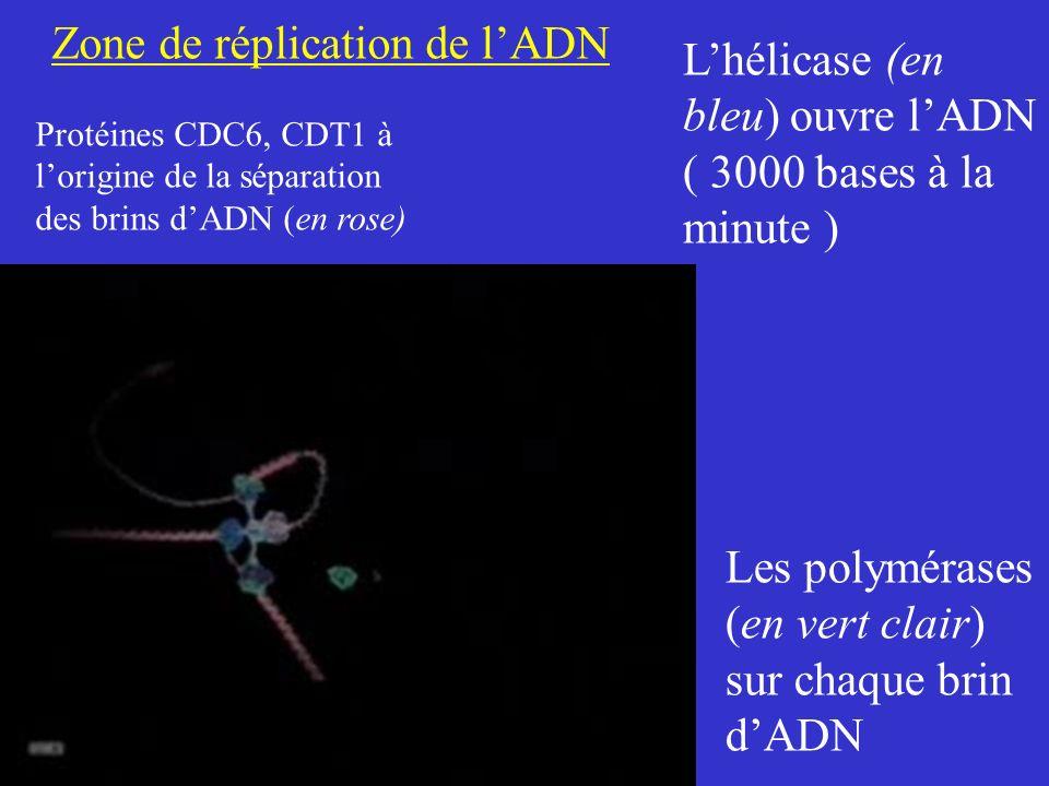 Zone de réplication de lADN Protéines CDC6, CDT1 à lorigine de la séparation des brins dADN (en rose) Lhélicase (en bleu) ouvre lADN ( 3000 bases à la