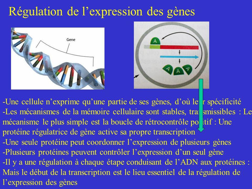 Régulation de lexpression des gènes -Une cellule nexprime quune partie de ses gènes, doù leur spécificité -Les mécanismes de la mémoire cellulaire son