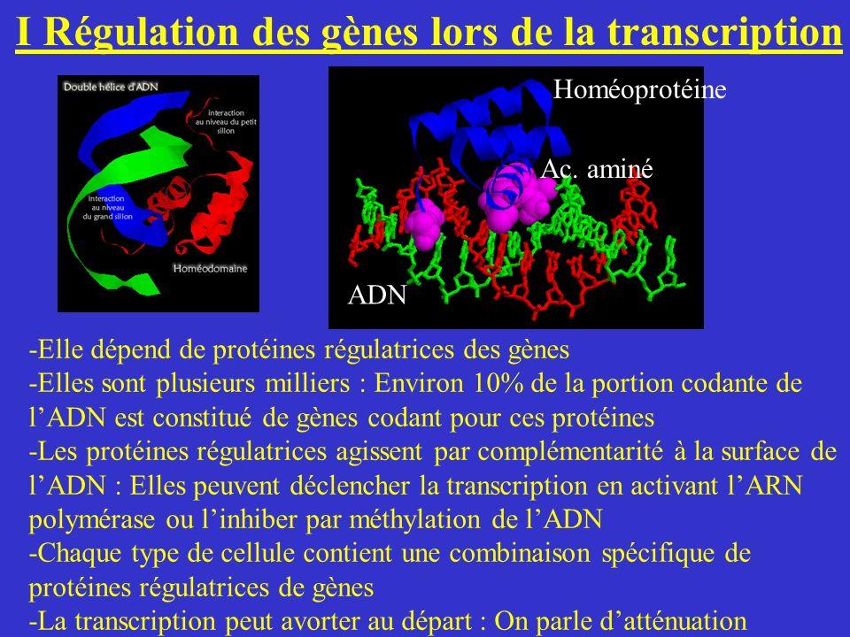 I Régulation des gènes lors de la transcription -Elle dépend de protéines régulatrices des gènes -Elles sont plusieurs milliers : Environ 10% de la po