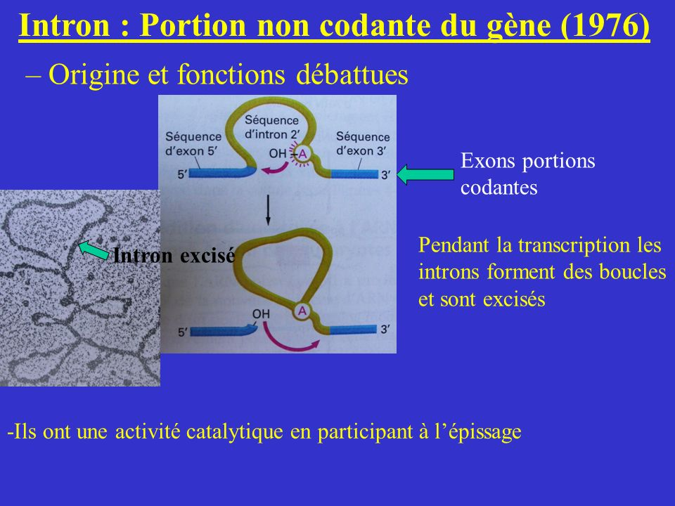 Intron : Portion non codante du gène (1976) – Origine et fonctions débattues Exons portions codantes Intron excisé Pendant la transcription les intron