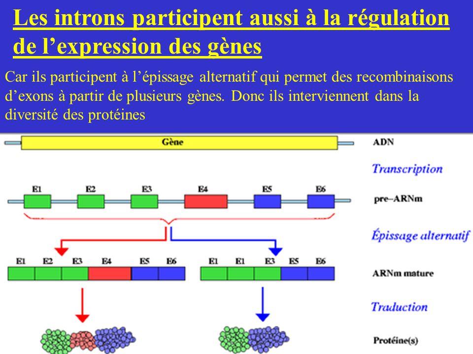 Les introns participent aussi à la régulation de lexpression des gènes Car ils participent à lépissage alternatif qui permet des recombinaisons dexons