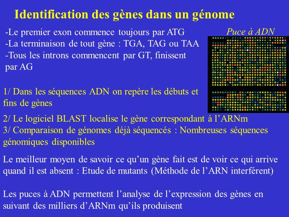 Identification des gènes dans un génome -Le premier exon commence toujours par ATG -La terminaison de tout gène : TGA, TAG ou TAA -Tous les introns co