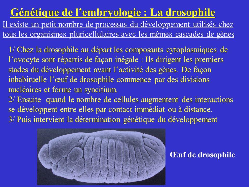Génétique de lembryologie : La drosophile Il existe un petit nombre de processus du développement utilisés chez tous les organismes pluricellulaires a