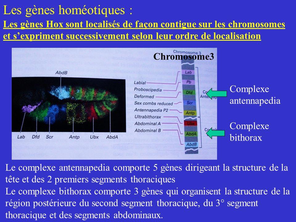 Les gènes Hox sont localisés de façon contigue sur les chromosomes et sexpriment successivement selon leur ordre de localisation Chromosome3 Complexe