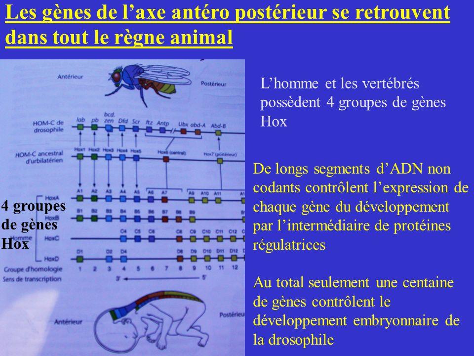 Les gènes de laxe antéro postérieur se retrouvent dans tout le règne animal 4 groupes de gènes Hox Lhomme et les vertébrés possèdent 4 groupes de gène