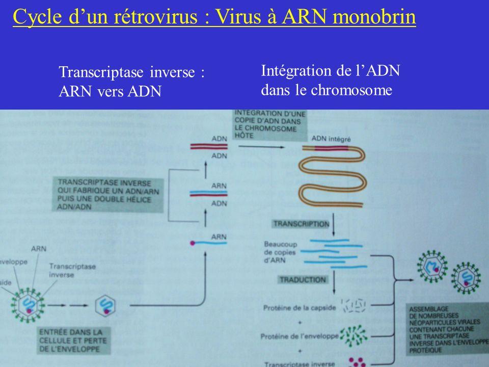 Cycle dun rétrovirus : Virus à ARN monobrin Transcriptase inverse : ARN vers ADN Intégration de lADN dans le chromosome