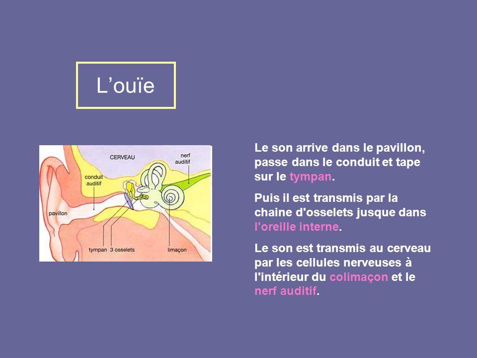 Louïe Le son arrive dans le pavillon, passe dans le conduit et tape sur le tympan. Puis il est transmis par la chaine d'osselets jusque dans l'oreille
