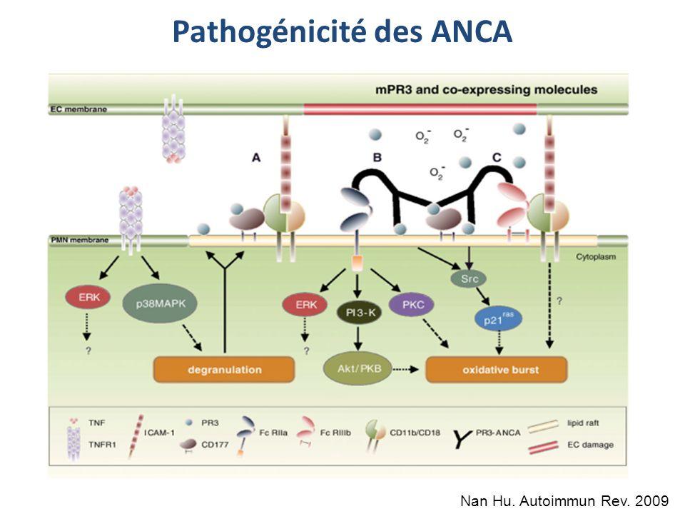Pathogénicité des ANCA Nan Hu. Autoimmun Rev. 2009