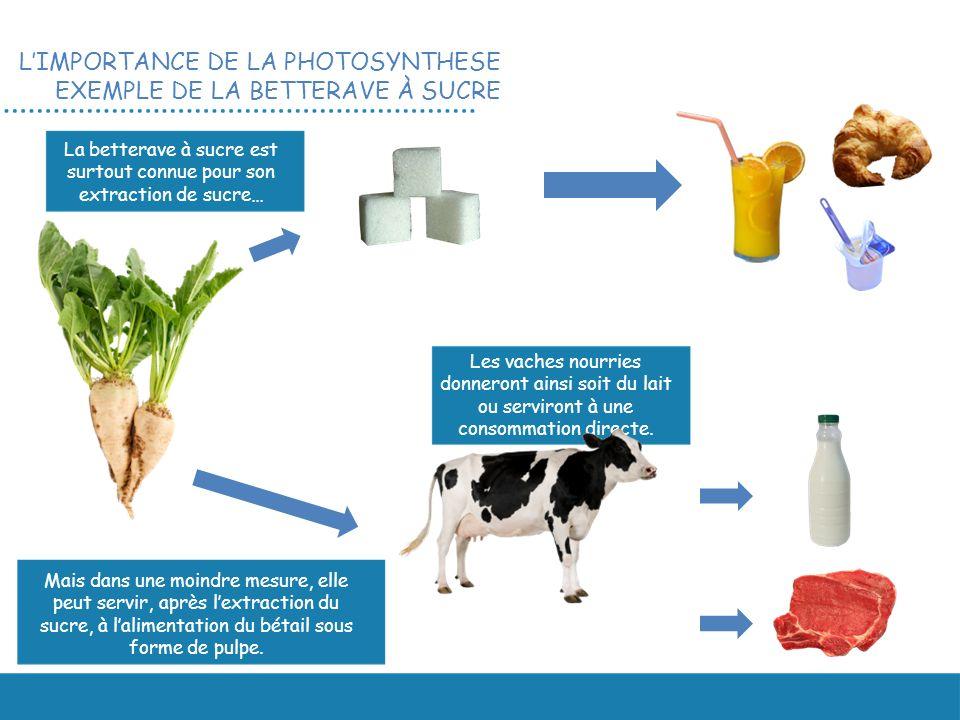 Mais dans une moindre mesure, elle peut servir, après lextraction du sucre, à lalimentation du bétail sous forme de pulpe. La betterave à sucre est su