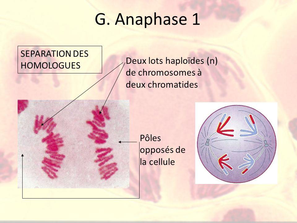 G. Anaphase 1 Pôles opposés de la cellule Deux lots haploïdes (n) de chromosomes à deux chromatides SEPARATION DES HOMOLOGUES