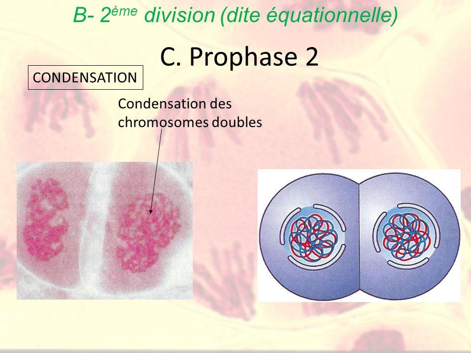 C. Prophase 2 Condensation des chromosomes doubles CONDENSATION B- 2 ème division (dite équationnelle)