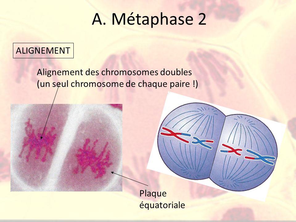 A. Métaphase 2 Plaque équatoriale Alignement des chromosomes doubles (un seul chromosome de chaque paire !) ALIGNEMENT