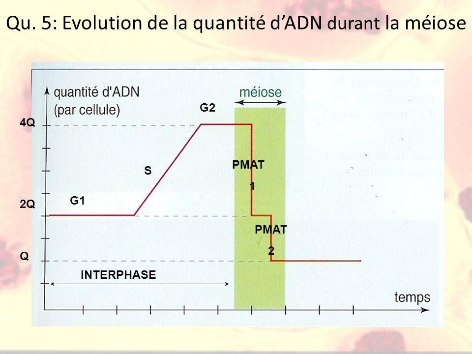 Qu. 5: Evolution de la quantité dADN durant la méiose 2Q Q 4Q G1 S G2 INTERPHASE PMAT 1 PMAT 2