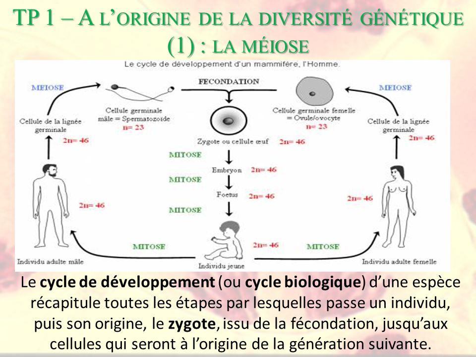 Le cycle de développement (ou cycle biologique) dune espèce récapitule toutes les étapes par lesquelles passe un individu, puis son origine, le zygote