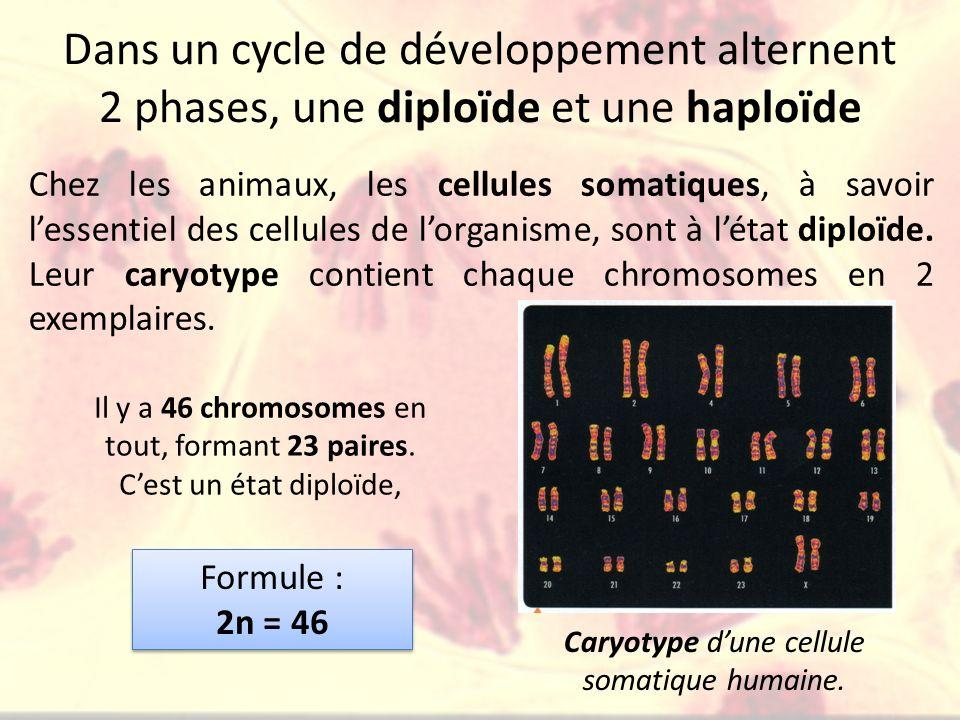 Dans un cycle de développement alternent 2 phases, une diploïde et une haploïde Chez les animaux, les cellules somatiques, à savoir lessentiel des cel