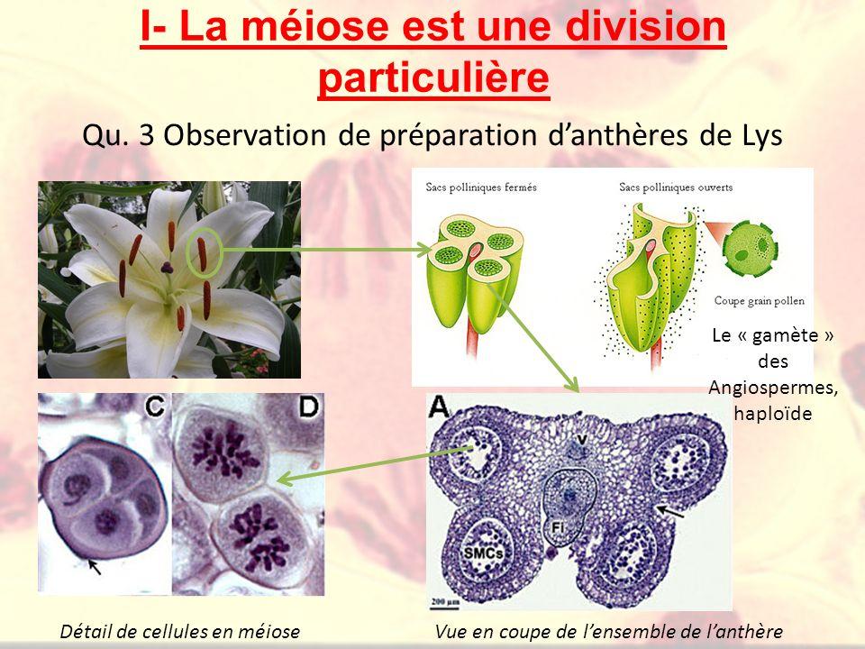 I- La méiose est une division particulière Qu. 3 Observation de préparation danthères de Lys Le « gamète » des Angiospermes, haploïde Vue en coupe de