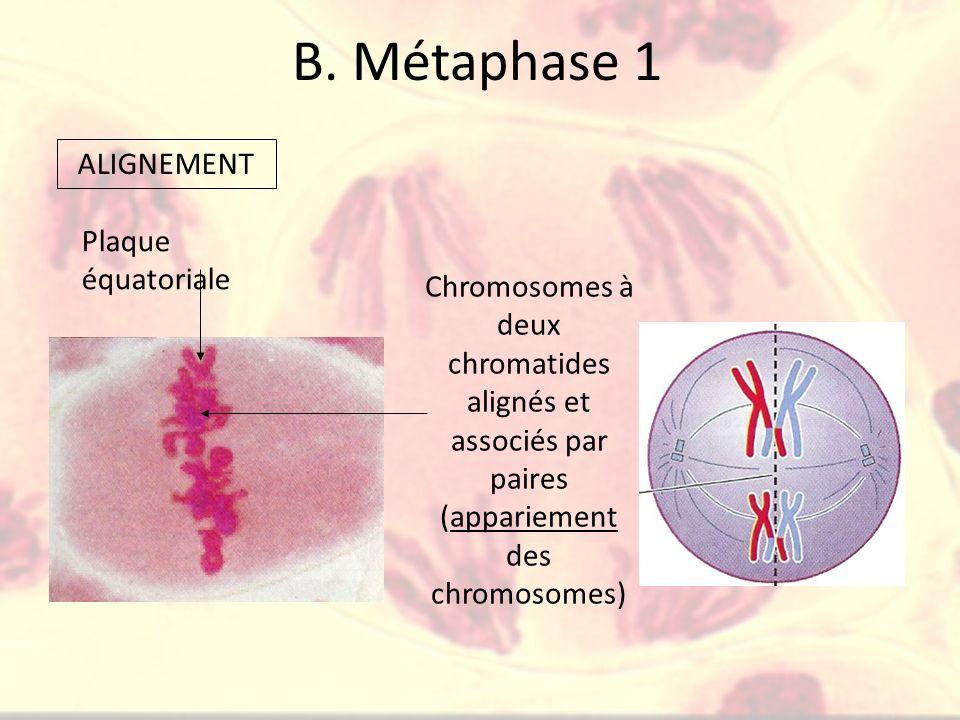 B. Métaphase 1 Plaque équatoriale Chromosomes à deux chromatides alignés et associés par paires (appariement des chromosomes) ALIGNEMENT