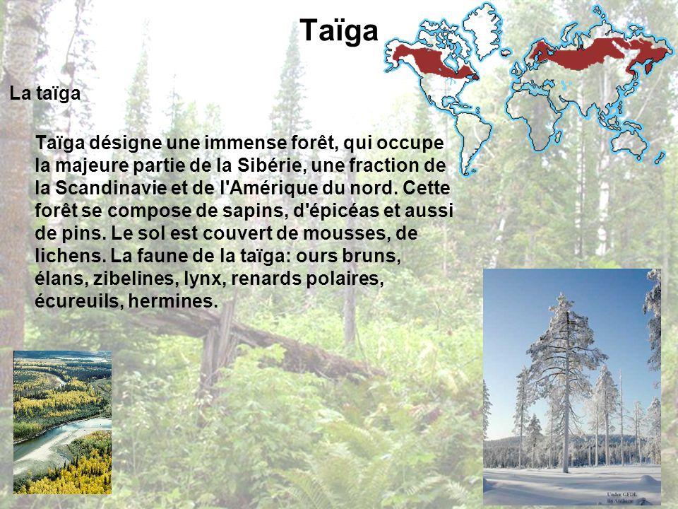 Taïga La taïga Taïga désigne une immense forêt, qui occupe la majeure partie de la Sibérie, une fraction de la Scandinavie et de l'Amérique du nord. C