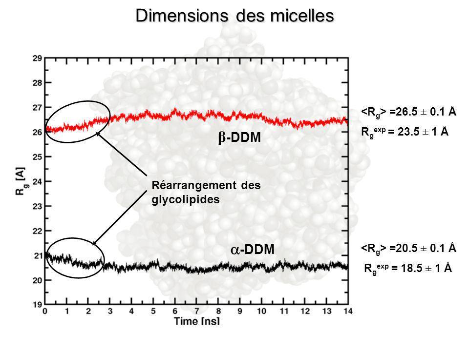 β -DDM -DDM Réarrangement des glycolipides =26.5 ± 0.1 Å R g exp = 23.5 ± 1 Å =20.5 ± 0.1 Å R g exp = 18.5 ± 1 Å Dimensions des micelles