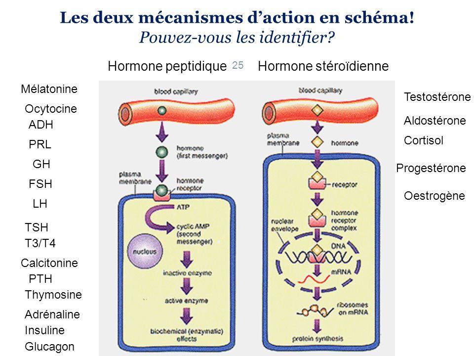 Les deux mécanismes daction en schéma! Pouvez-vous les identifier? 25 Hormone peptidiqueHormone stéroïdienne Mélatonine Ocytocine ADH GH PRL FSH TSH T