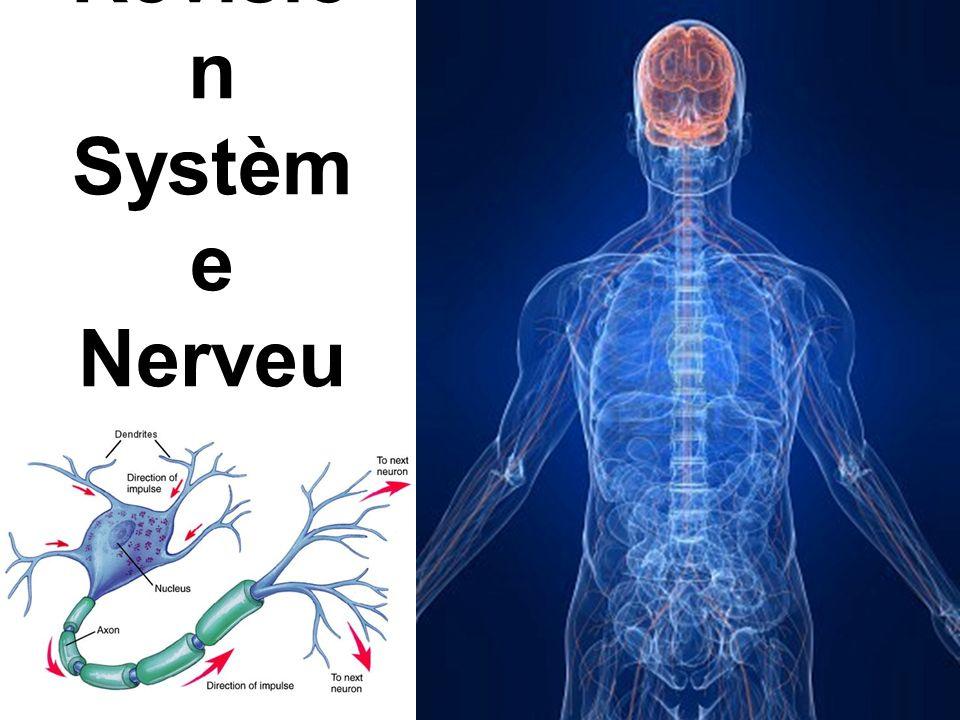 SNC SN P SN Nerf moteur Nerf sensitif Nerf mixte Encéphale Moelle épinière neurone Cerveau Cervelet Tronc cérébral 1.Dendrites 2.Corps cellulaire 3.Axone 4.Terminaisons nerveuses 1.Dendrites 2.Corps cellulaire 3.Axone 4.Terminaisons nerveuses 1.Impulsion électrique dans le neurone 2.Neurotransmetteurs (chimique) entre les neurones (synapses) 1.Impulsion électrique dans le neurone 2.Neurotransmetteurs (chimique) entre les neurones (synapses) Sensations Acte volontaire Arc réflexe influx nerveux