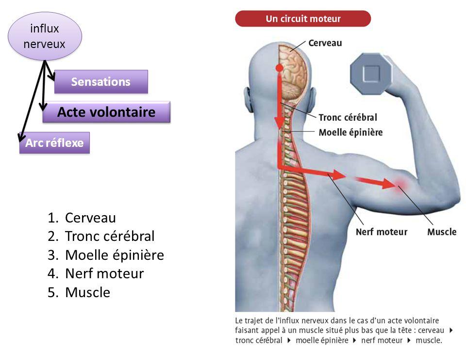 Sensations Acte volontaire Arc réflexe influx nerveux 1.Cerveau 2.Tronc cérébral 3.Moelle épinière 4.Nerf moteur 5.Muscle