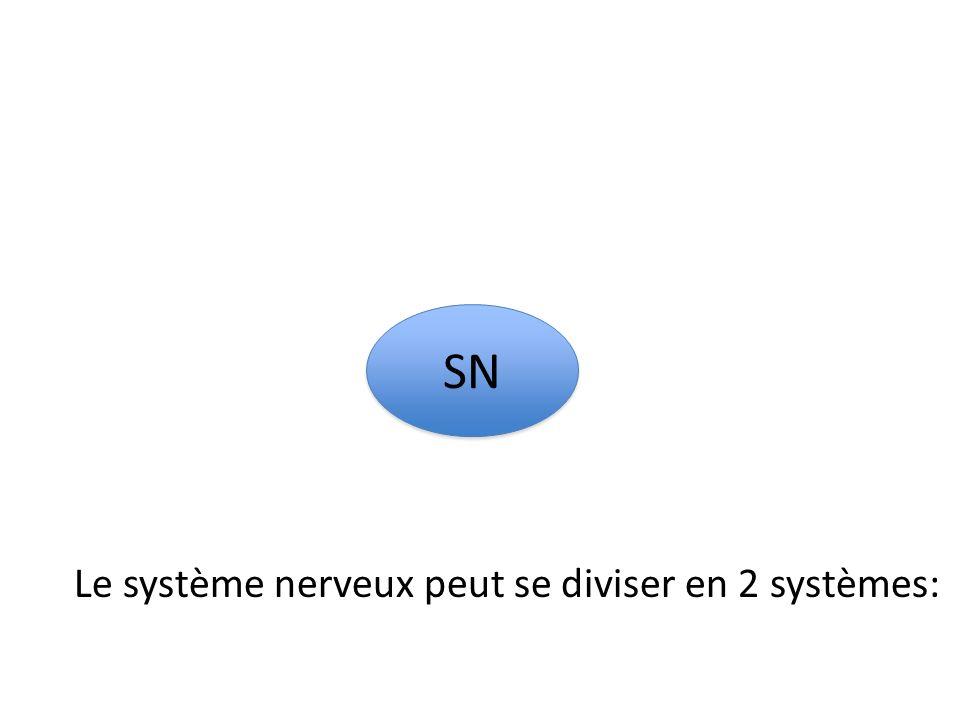 SNC SN P SN Le système nerveux central peut se diviser aussi en 2:
