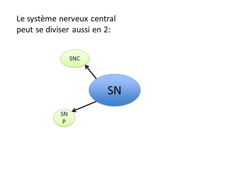 SNC SN P SN Encéphale Moelle épinière Lencéphale se compose de 3 parties: