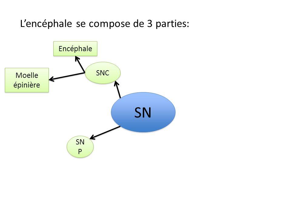 SNC SN Encéphale Moelle épinière Cerveau Cervelet Tronc cérébral Lencéphale est protégé par: Cuir chevelu Boîte crânienne Méninges (3 membranes superposées) Méninges (3 membranes superposées) Liquide céphalorachidien