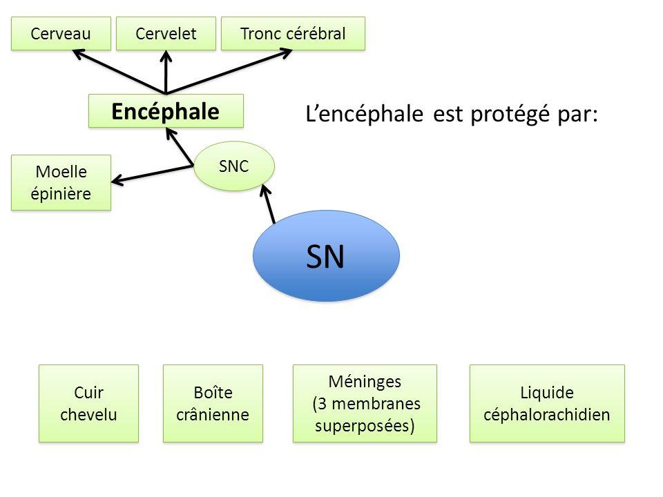 SNC SN Encéphale Moelle épinière Cerveau Cervelet Tronc cérébral Lencéphale est protégé par: Cuir chevelu Boîte crânienne Méninges (3 membranes superp